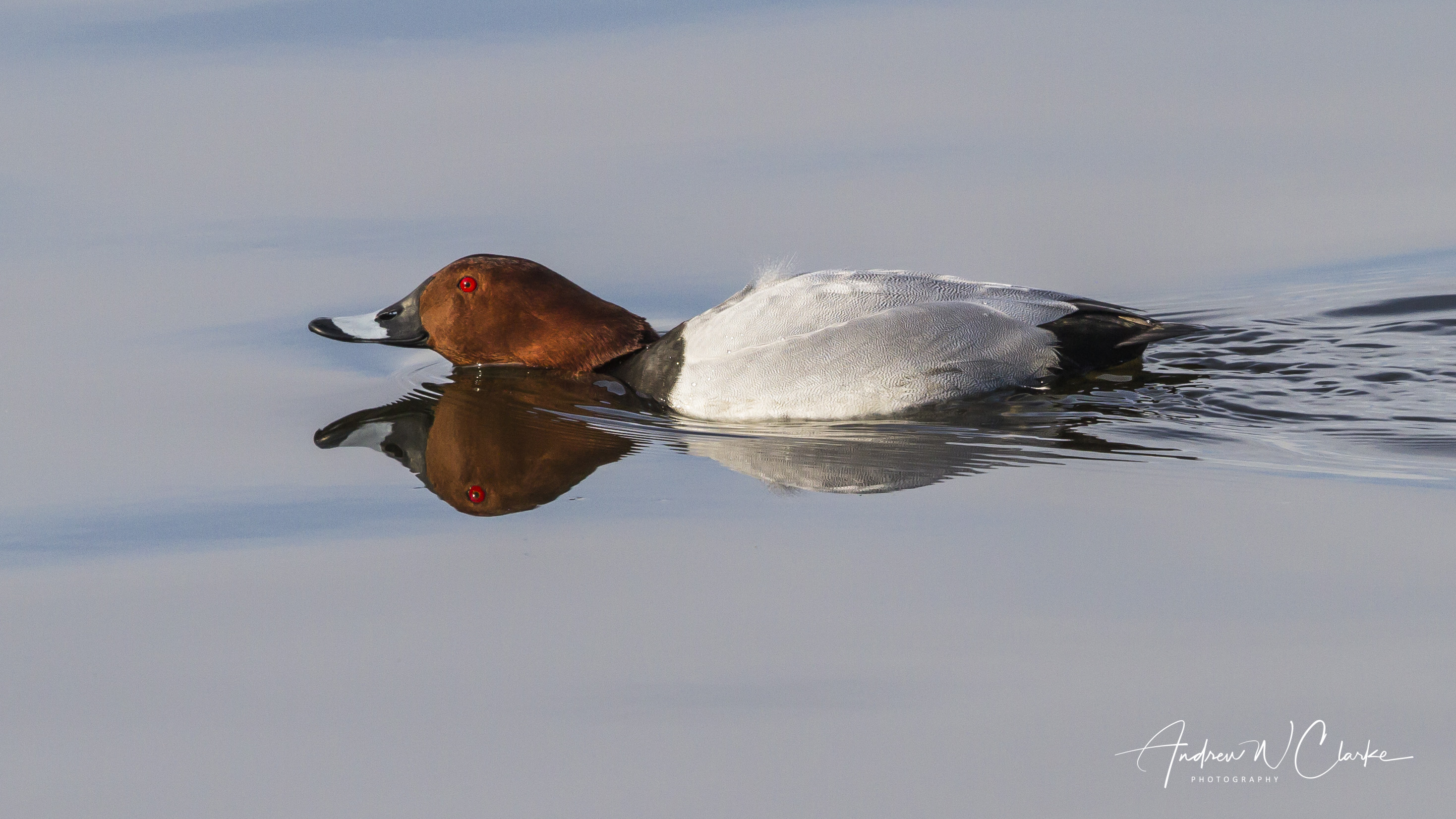 Common Pochard / Taffeland