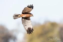 Eurasian Marsh-Harrier / Sivhauk