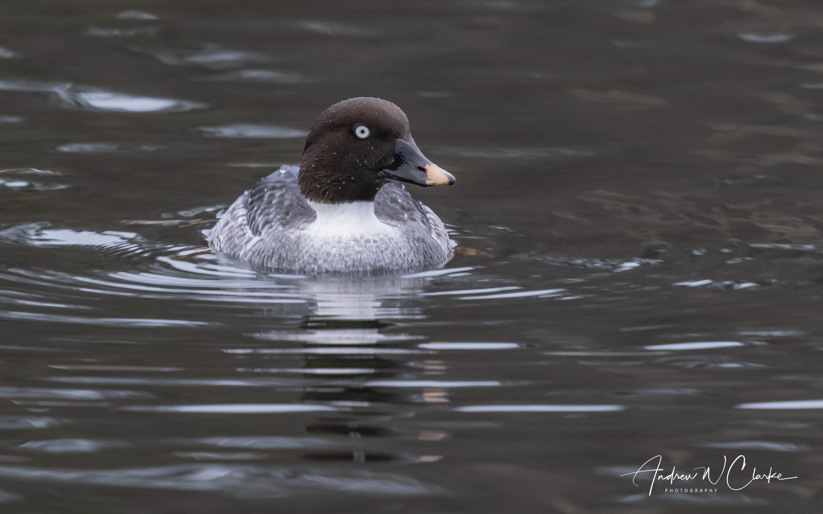 Common Goldeneye / Kvinand