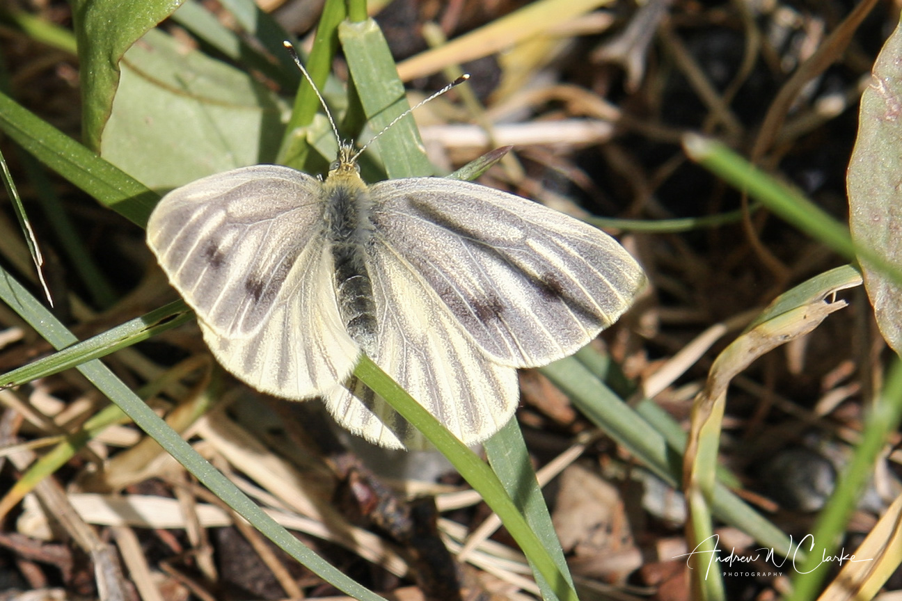 'Northern' Green-veined White