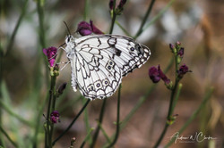 Esper's Marbled White