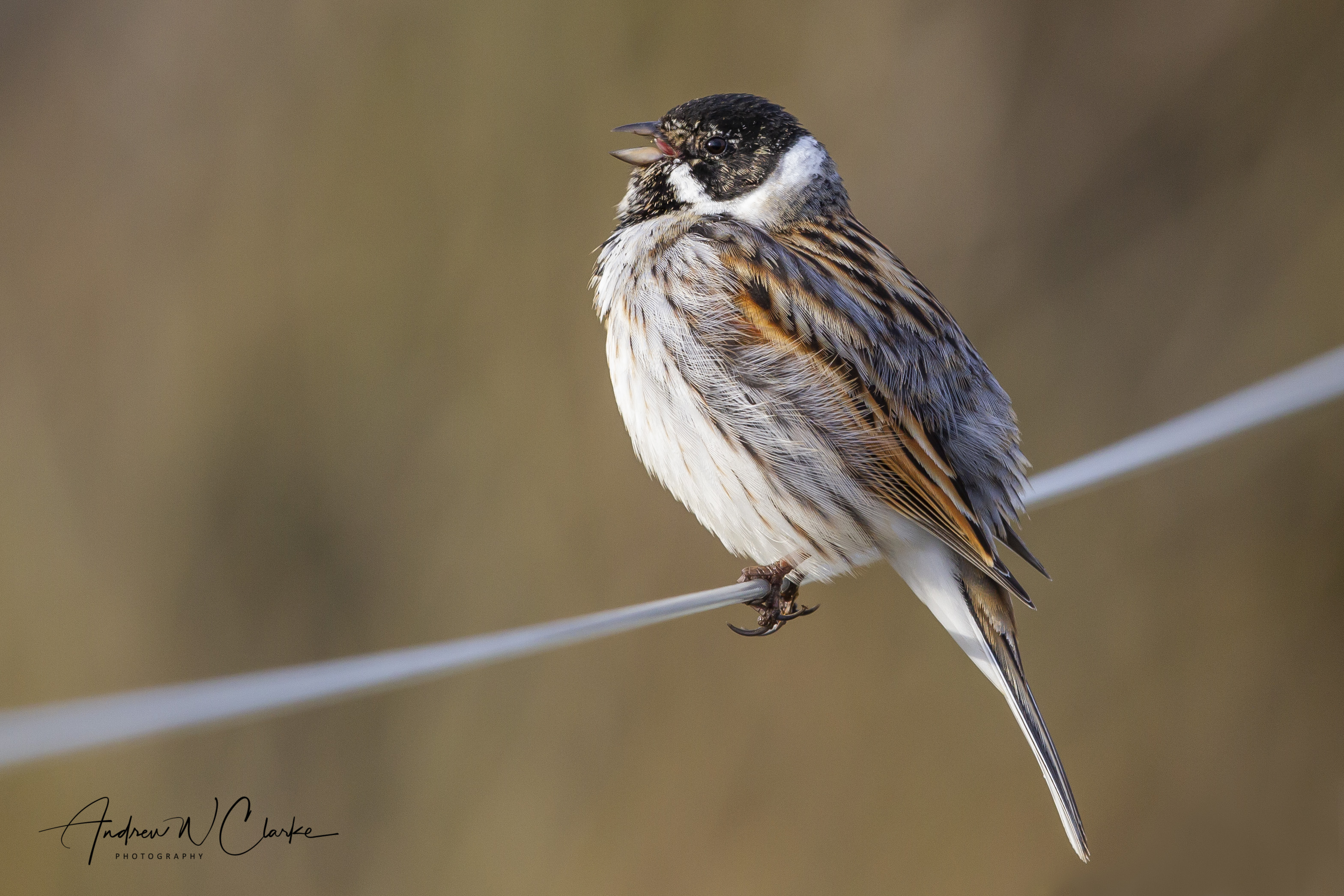 Reed Bunting / Sivspurv
