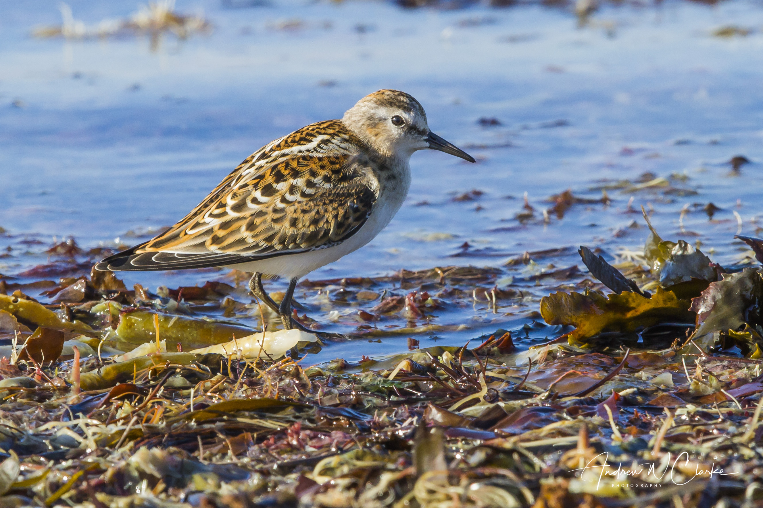 Little Stint / Dvergsnipe