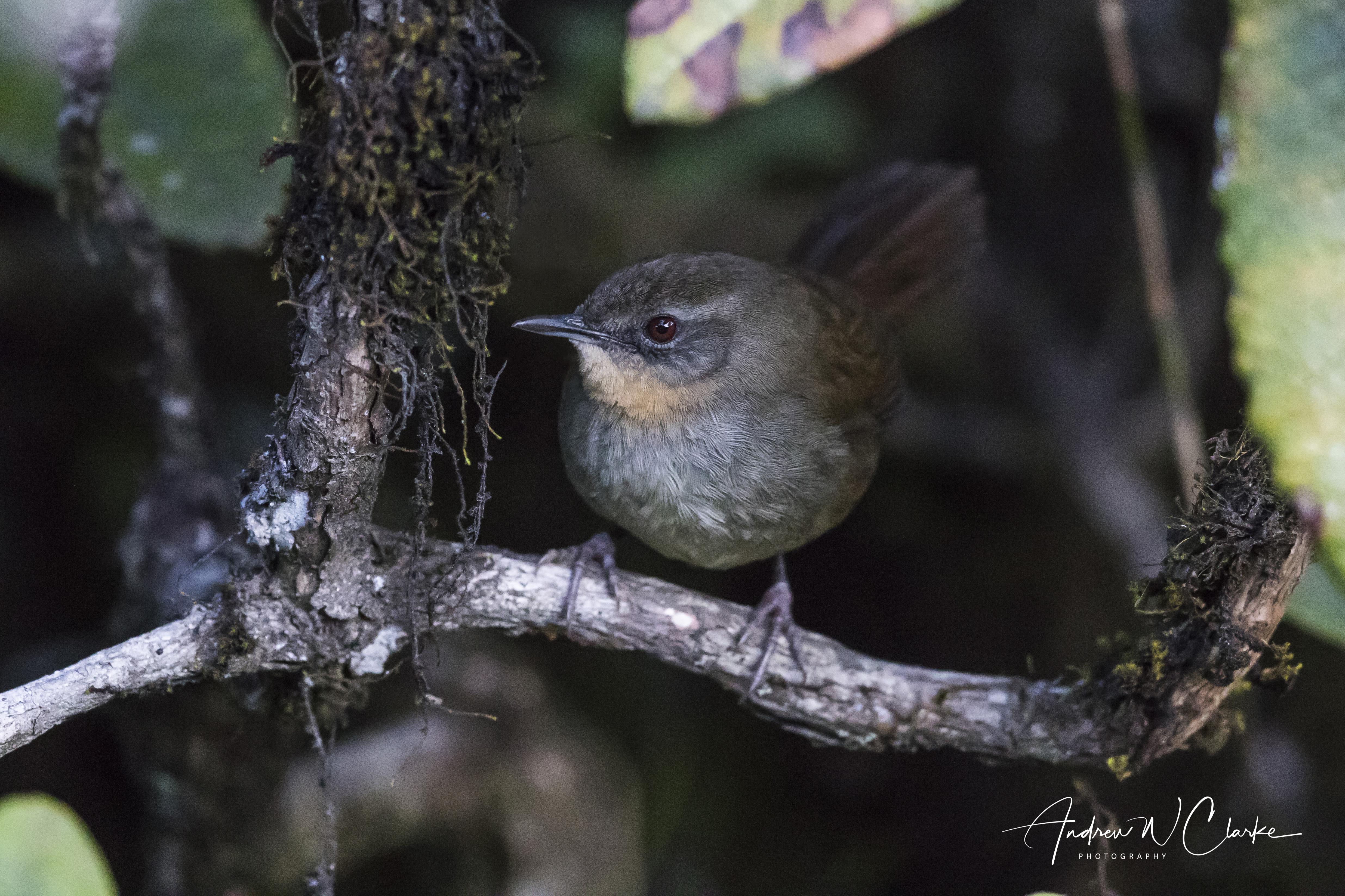 Sri Lanka Bush-Warbler