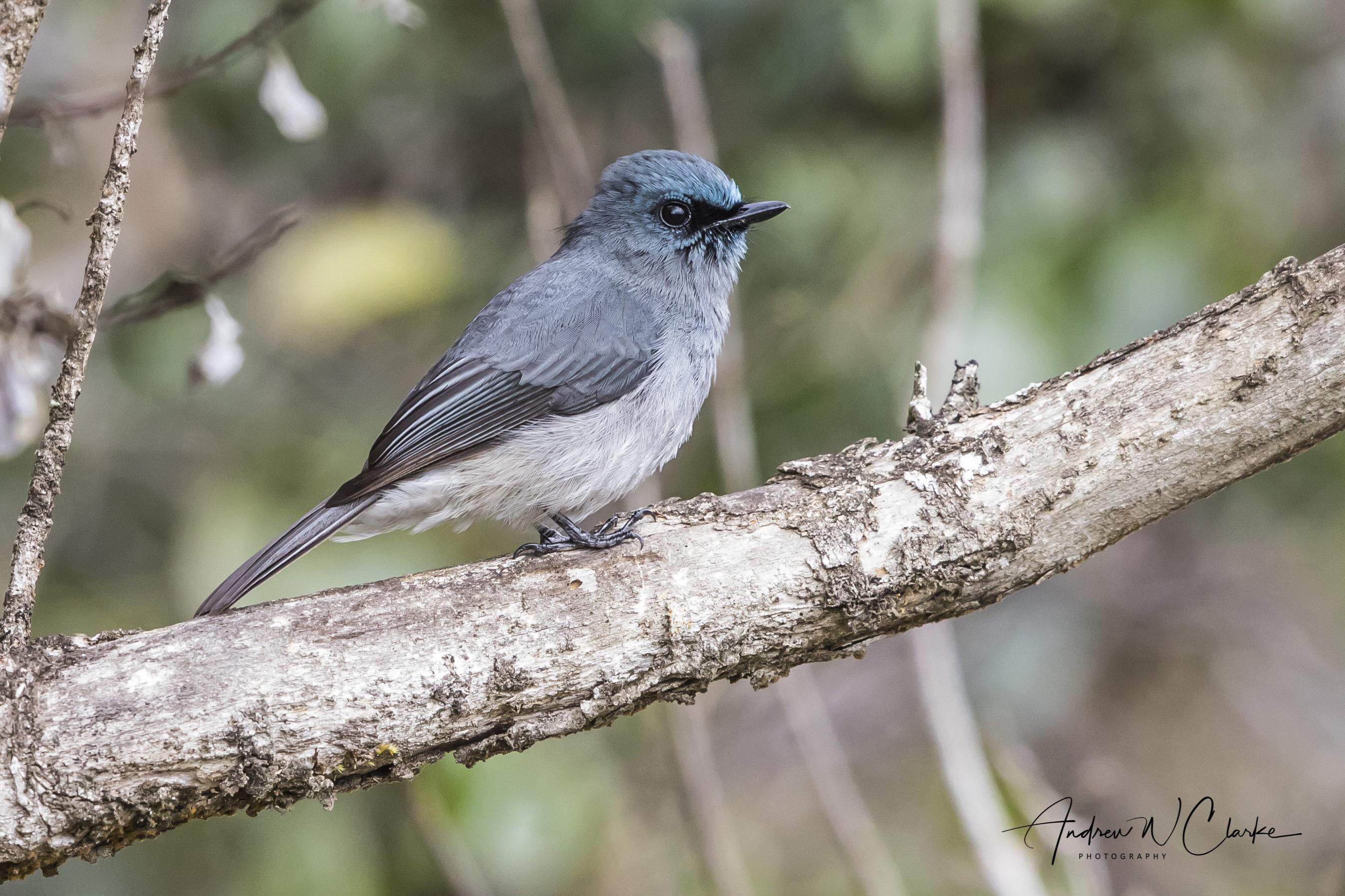 Dull Blue Flycatcher