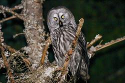 Great Grey Owl / Lappugle