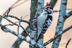 Lesser-spotted Woodpecker/Dvergspett