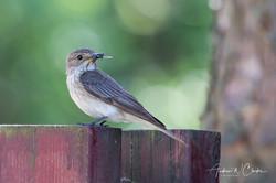Spotted Flycatcher / Gråfluesnapper