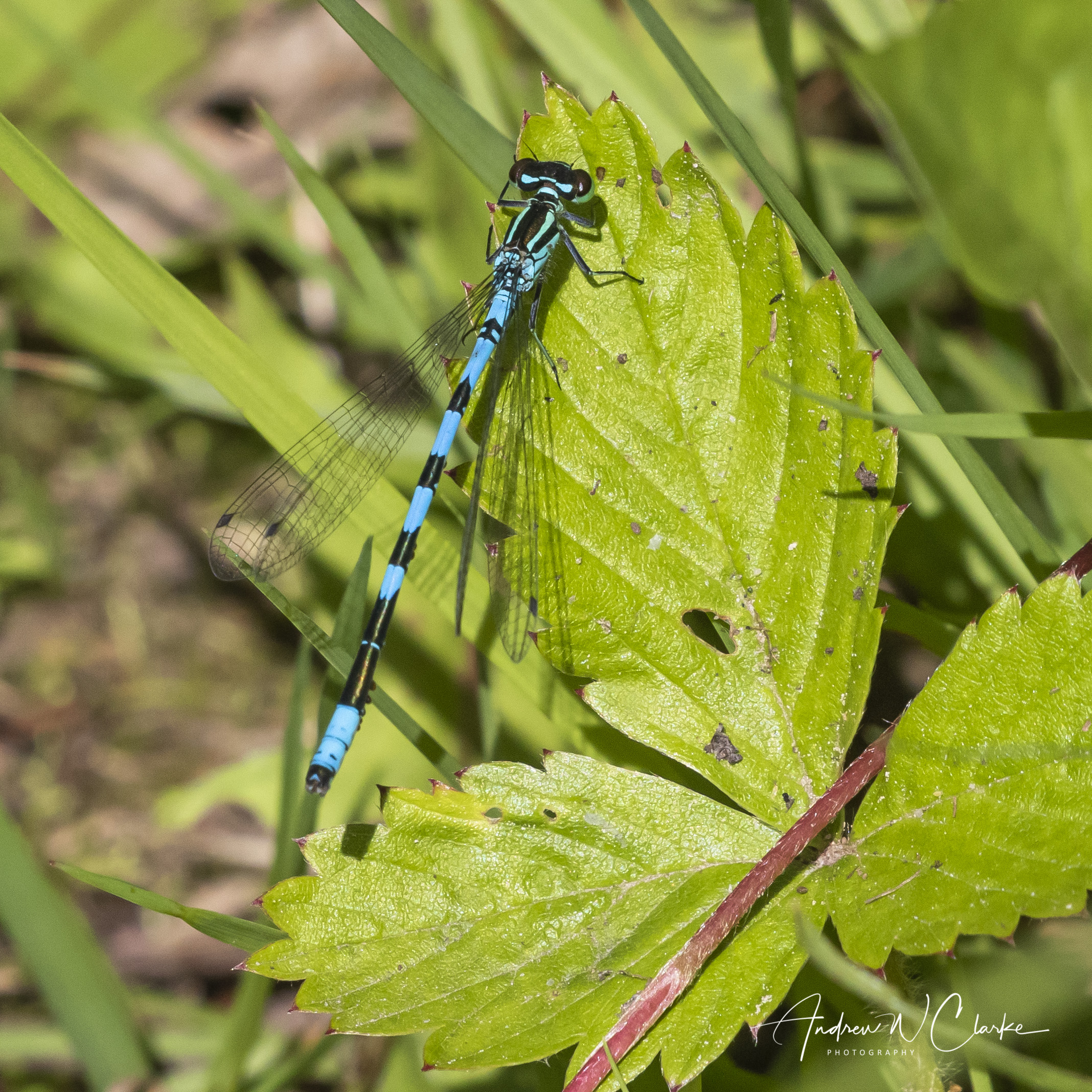Spearhead Bluet