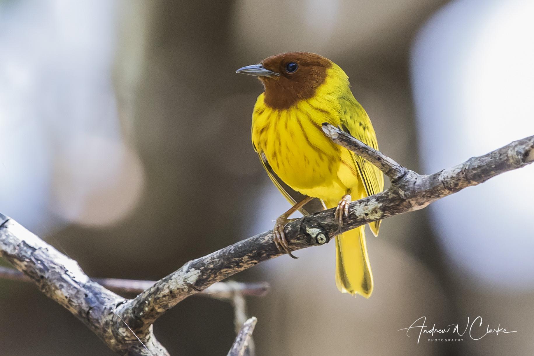 (Mangrove) Yellow Warbler
