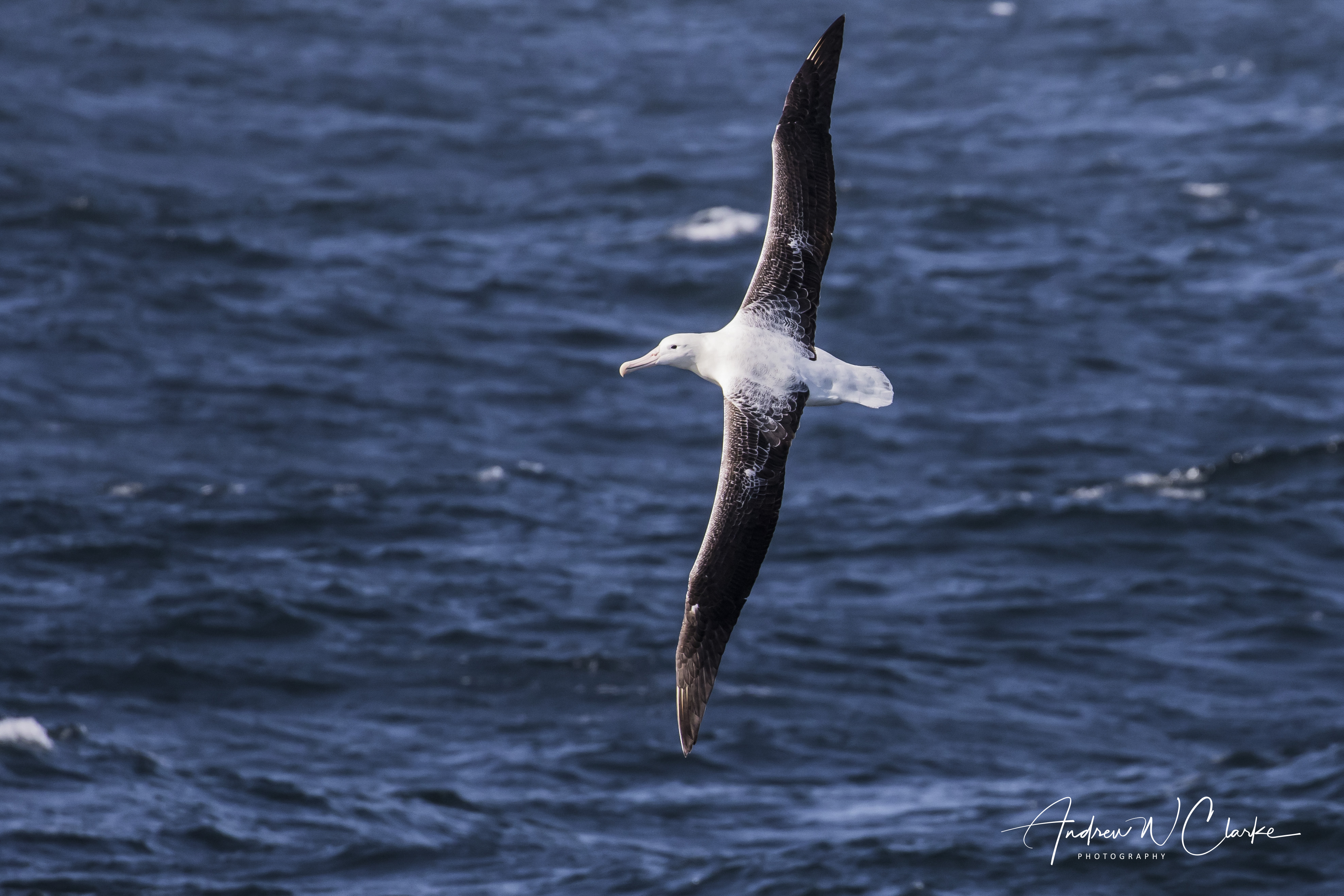 (Southern) Royal Albatross