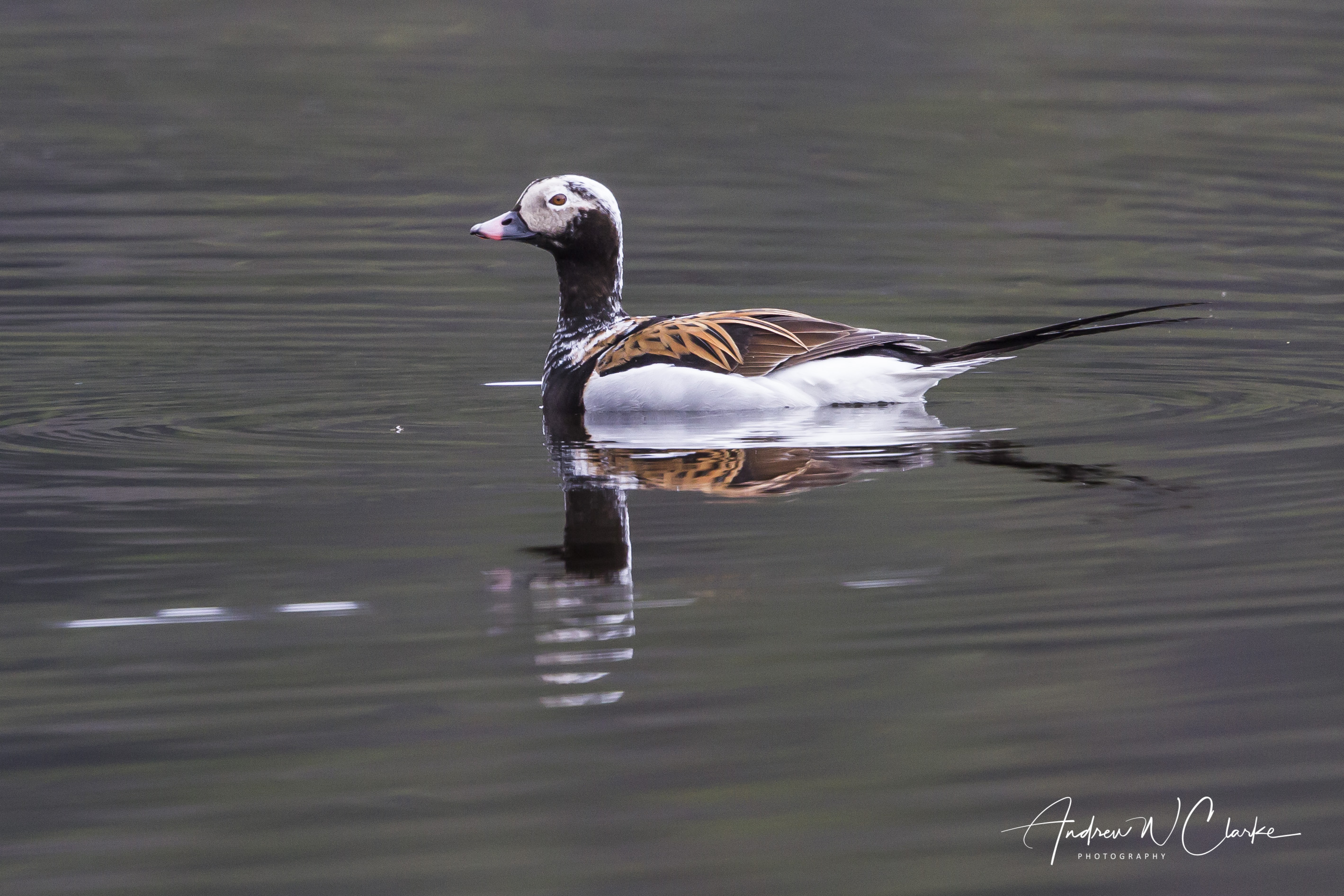 Long-tailed Duck / Havelle