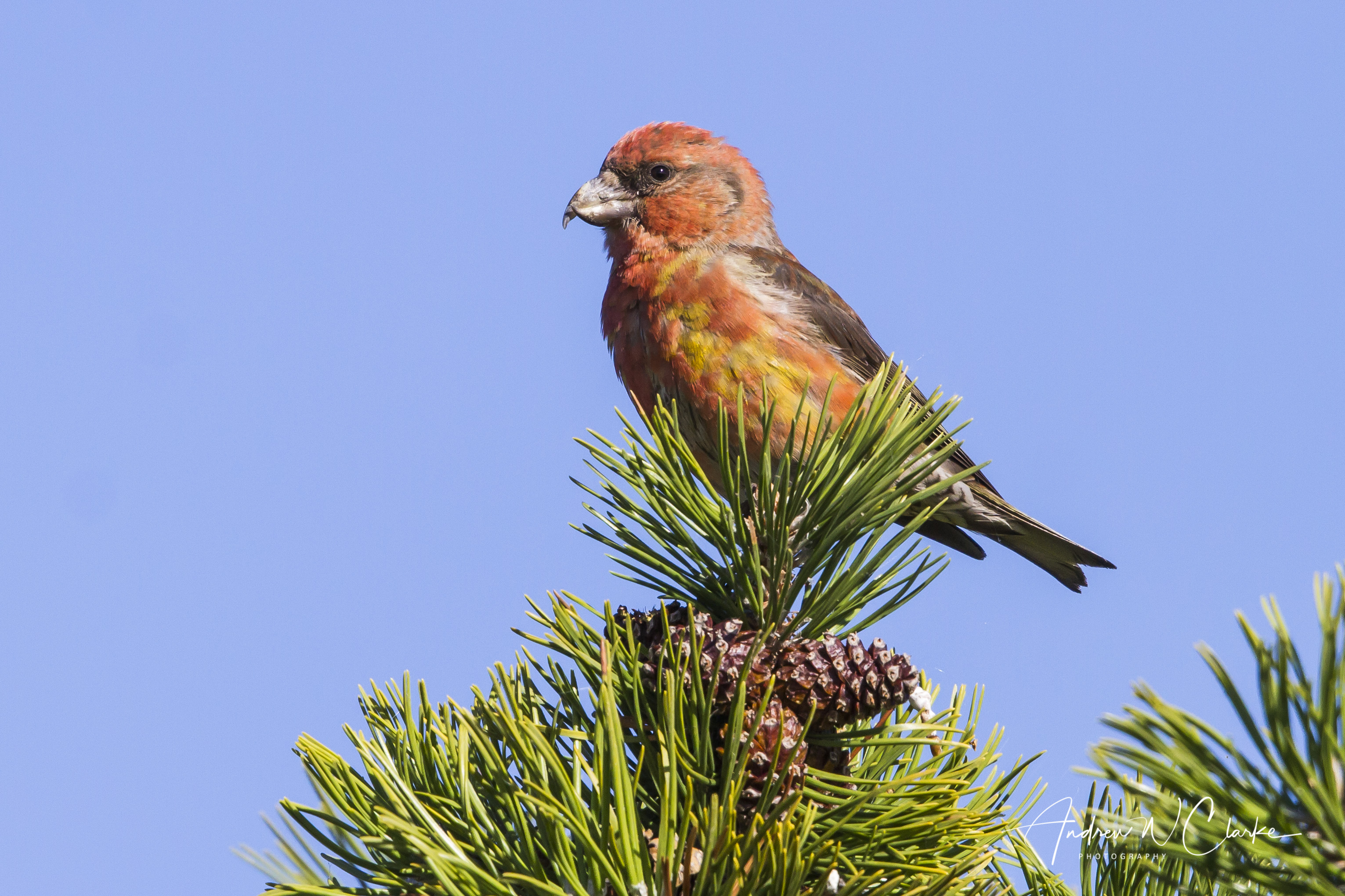 Red Crossbill / Grankorsnebb