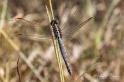Eastern Blacktail