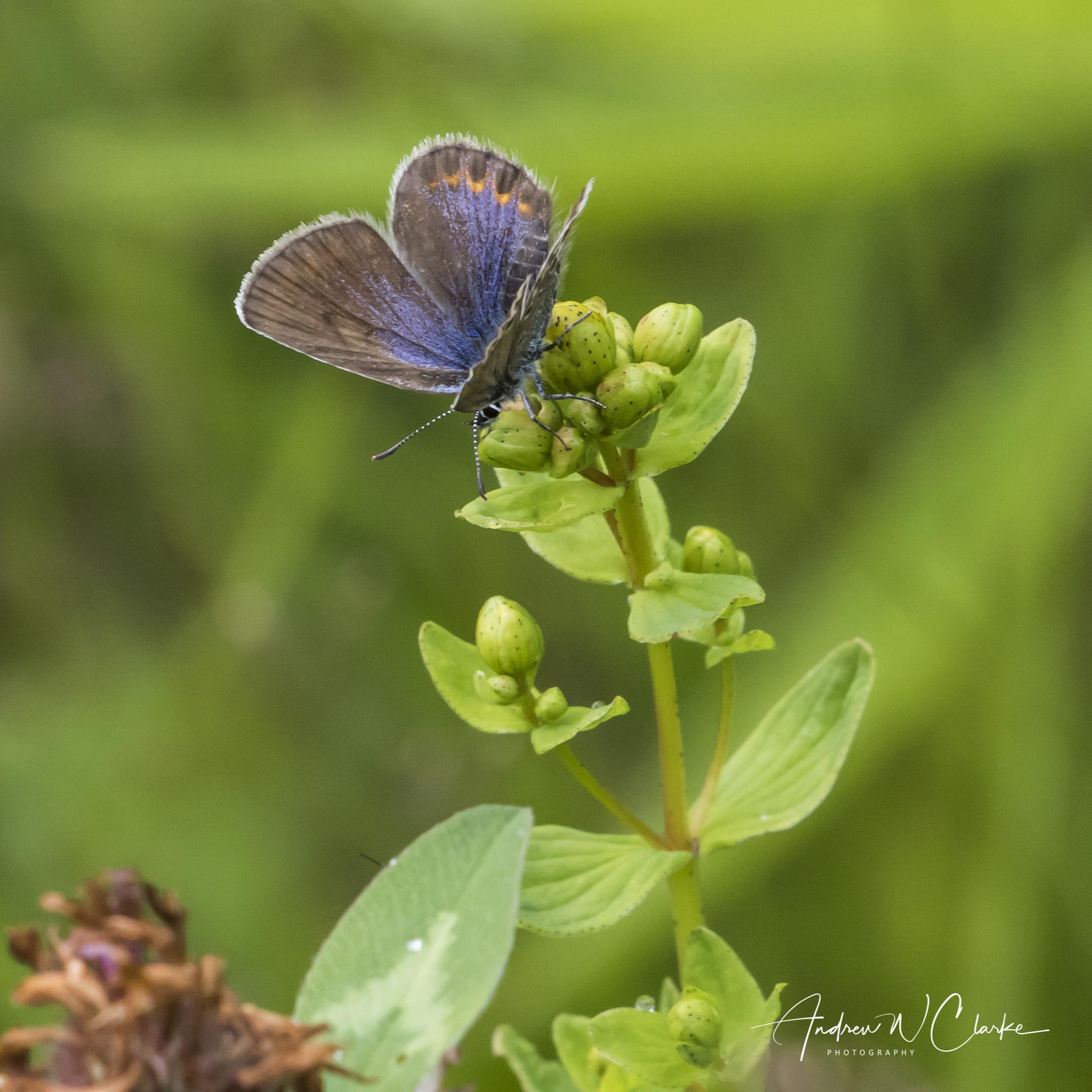 Idas Blue