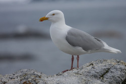 Glaucous Gull / Polarmåke