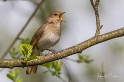 Thrush Nightingale / Nattergal