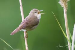 Blyth's Reed Warbler / Busksanger