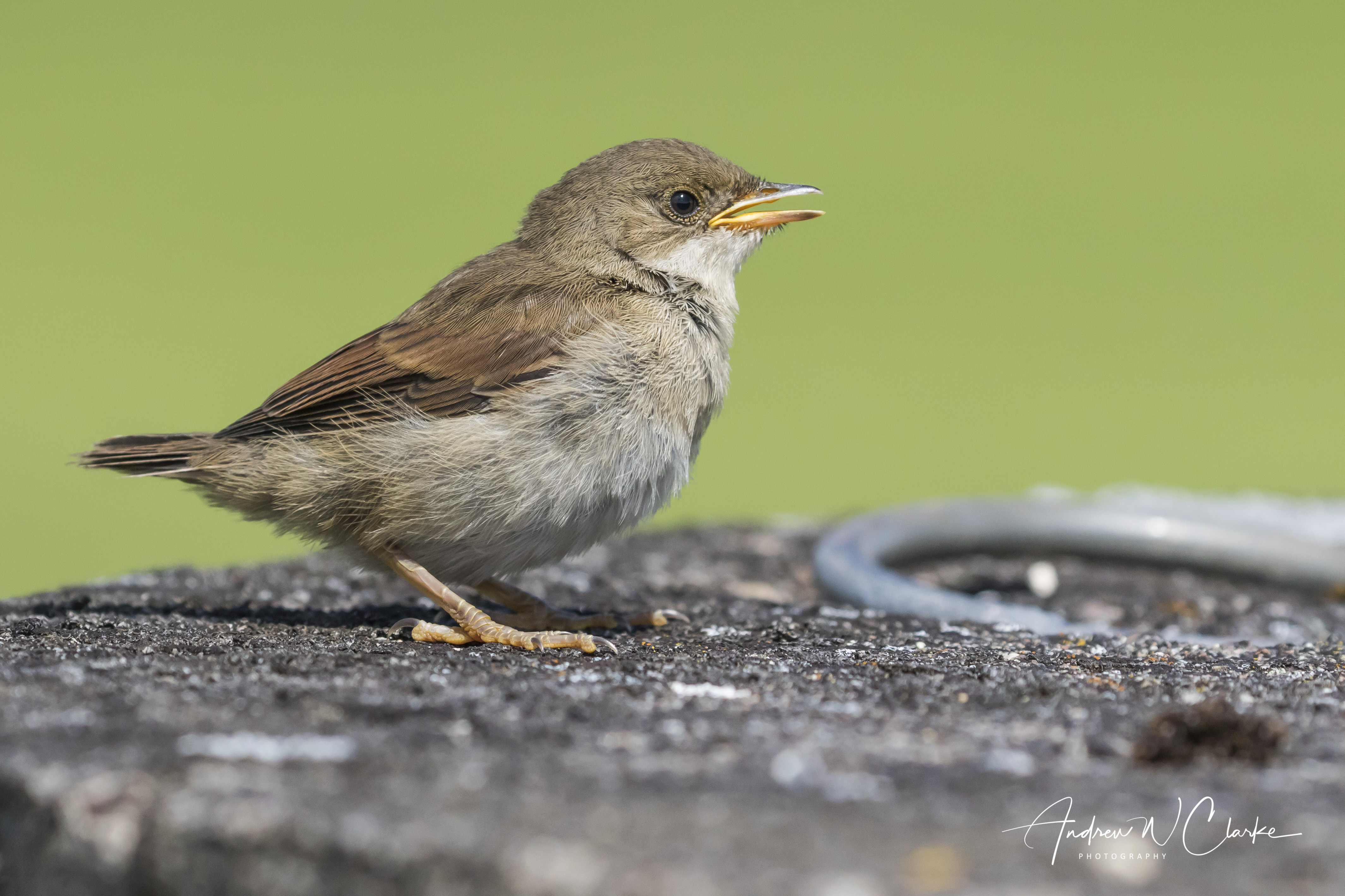 Greater Whitethroat / Tornsanger