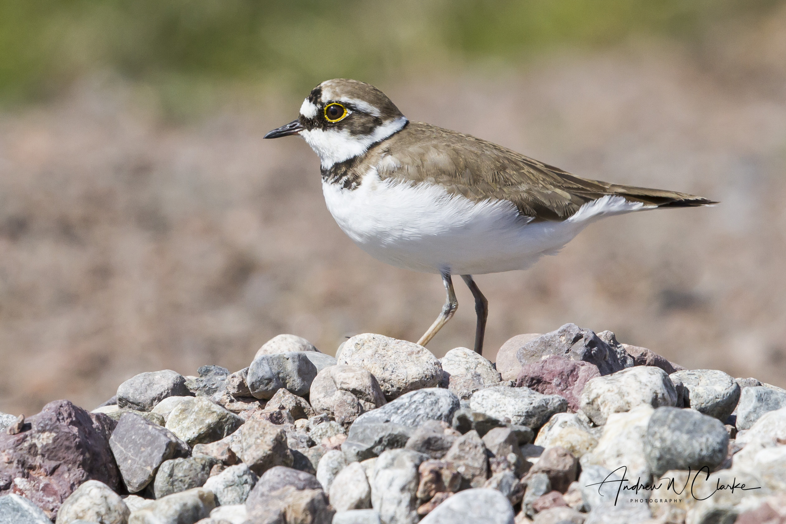 Little Ringed Plover / Dverglo