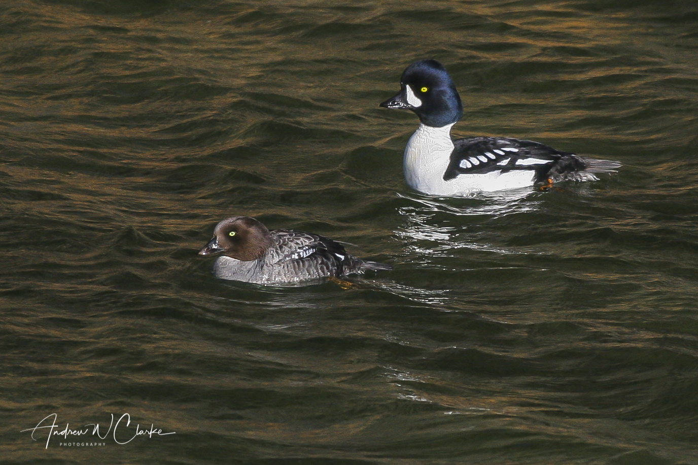 Barrows Goldeneye / Islandsand