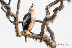 Crested Hawk-Eagle