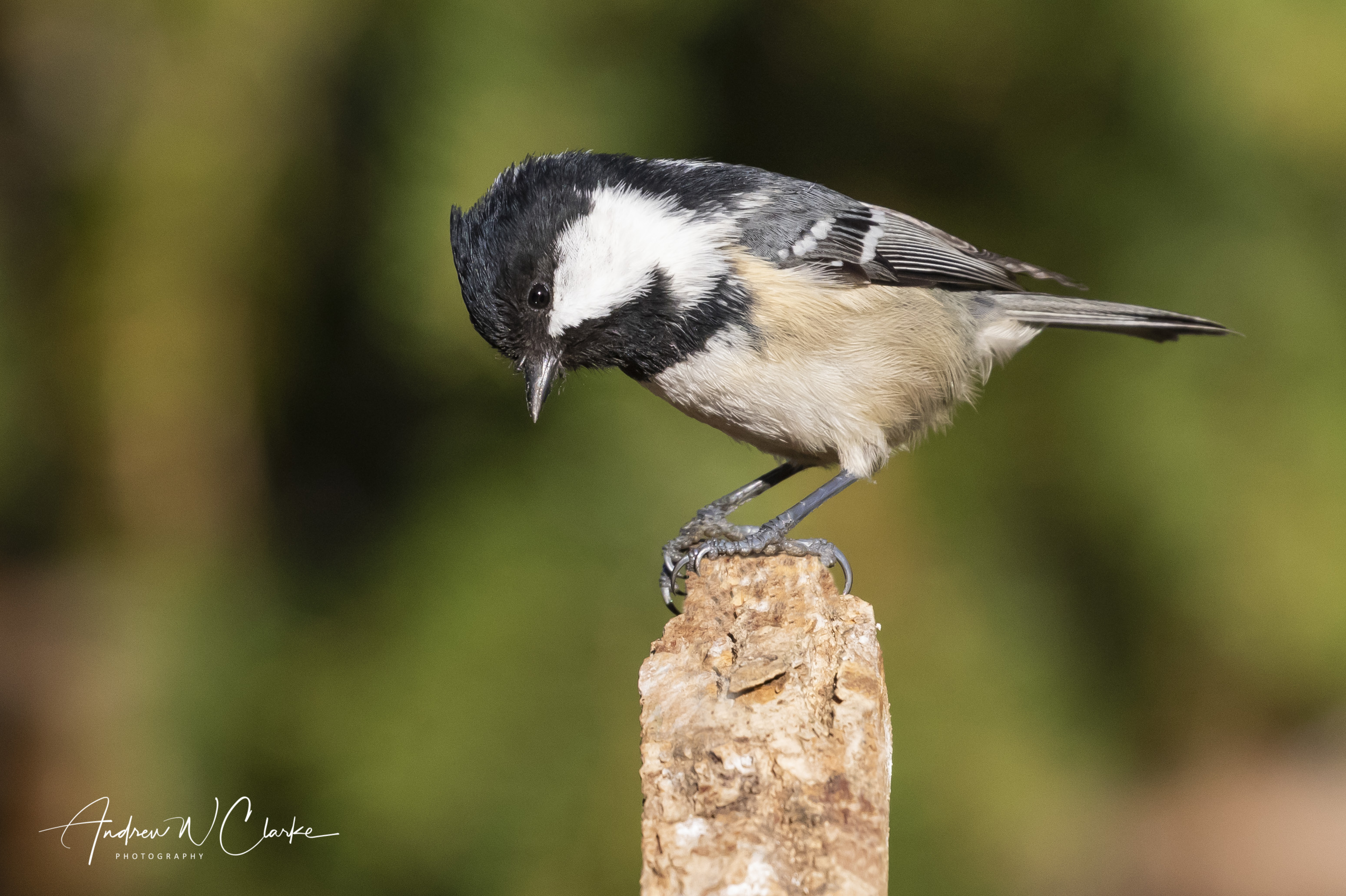 Coal Tit / Svartmeis