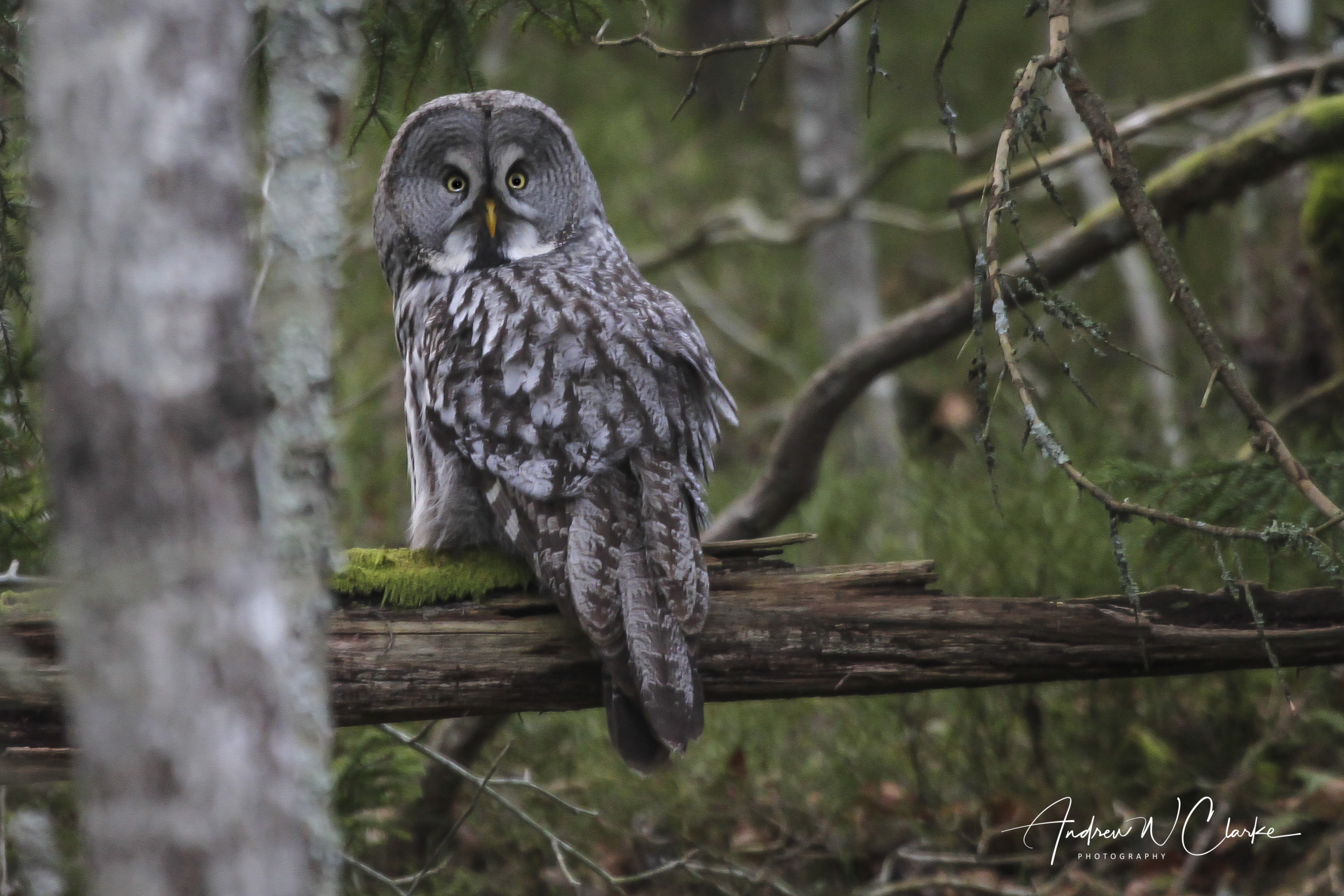Great Gray Owl / Lappugle