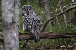Great Gray Owl / Lappugle