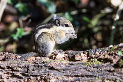 Himalayan Striped Squirrel