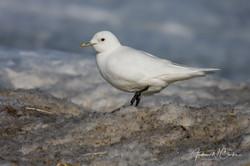 Ivory Gull / Ismåke