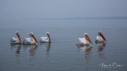 Dalmatian and Great White Pelican