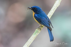 Tickell's Blue-Flycatcher