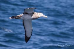 (Snowy) Wandering Albatross