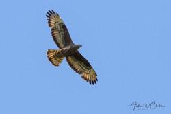 European Honey-buzzard / Vepsevåk