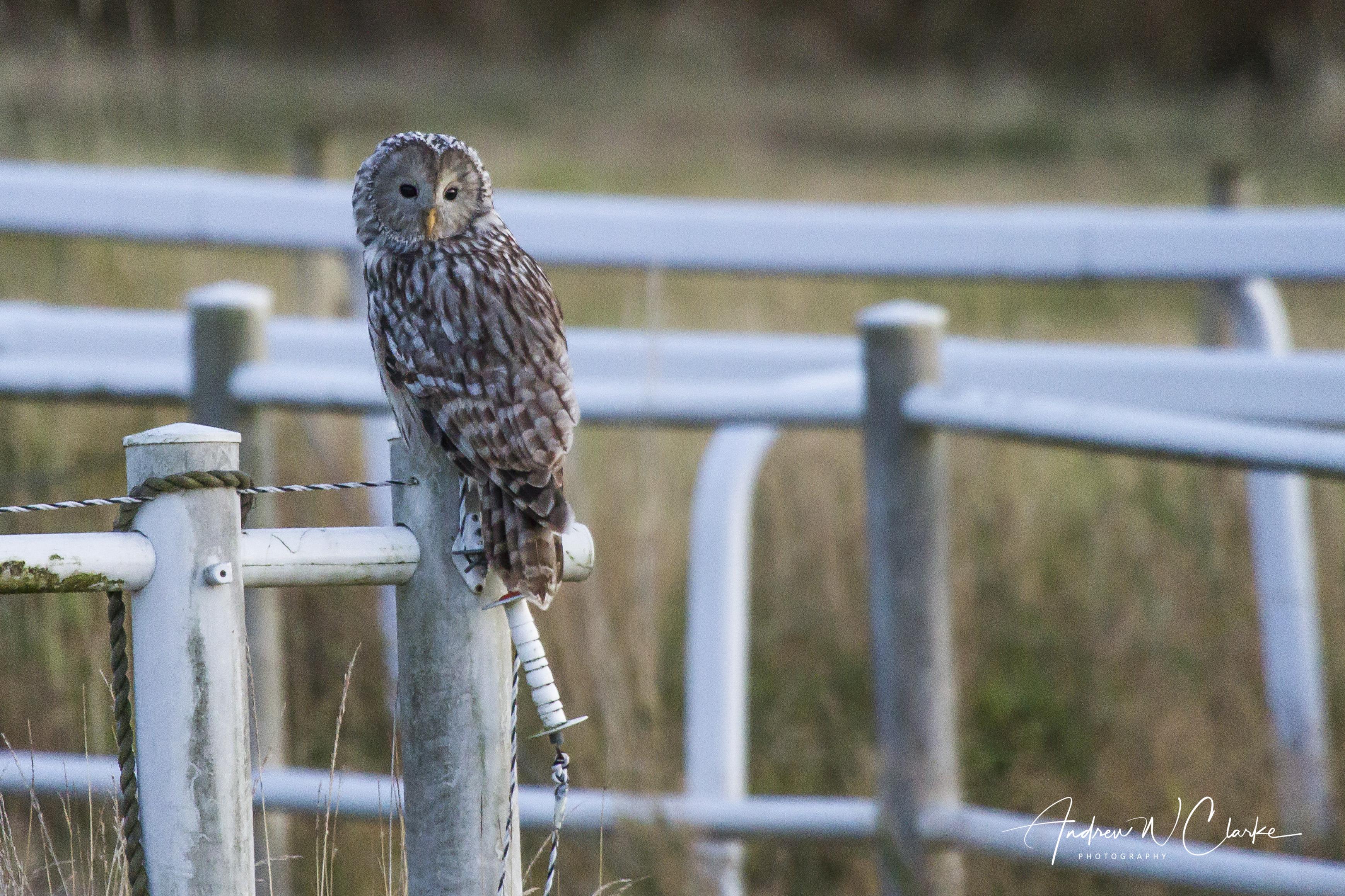 Ural Owl / Slagugle