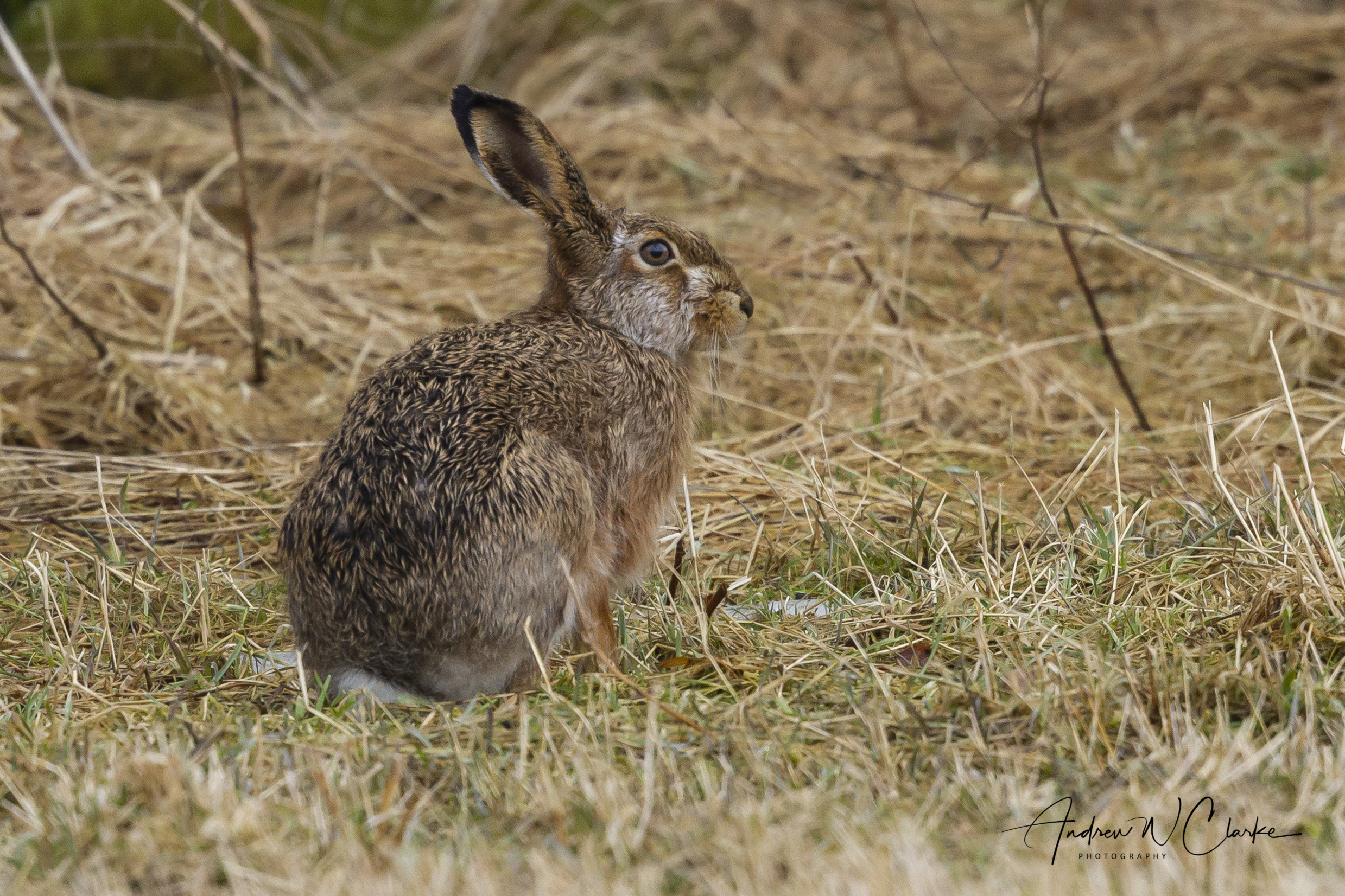European Brown Hare / Sørhare