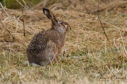 European Brown Hare / Sørhare