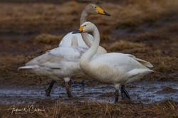Tundra Swan / Dvergsvane
