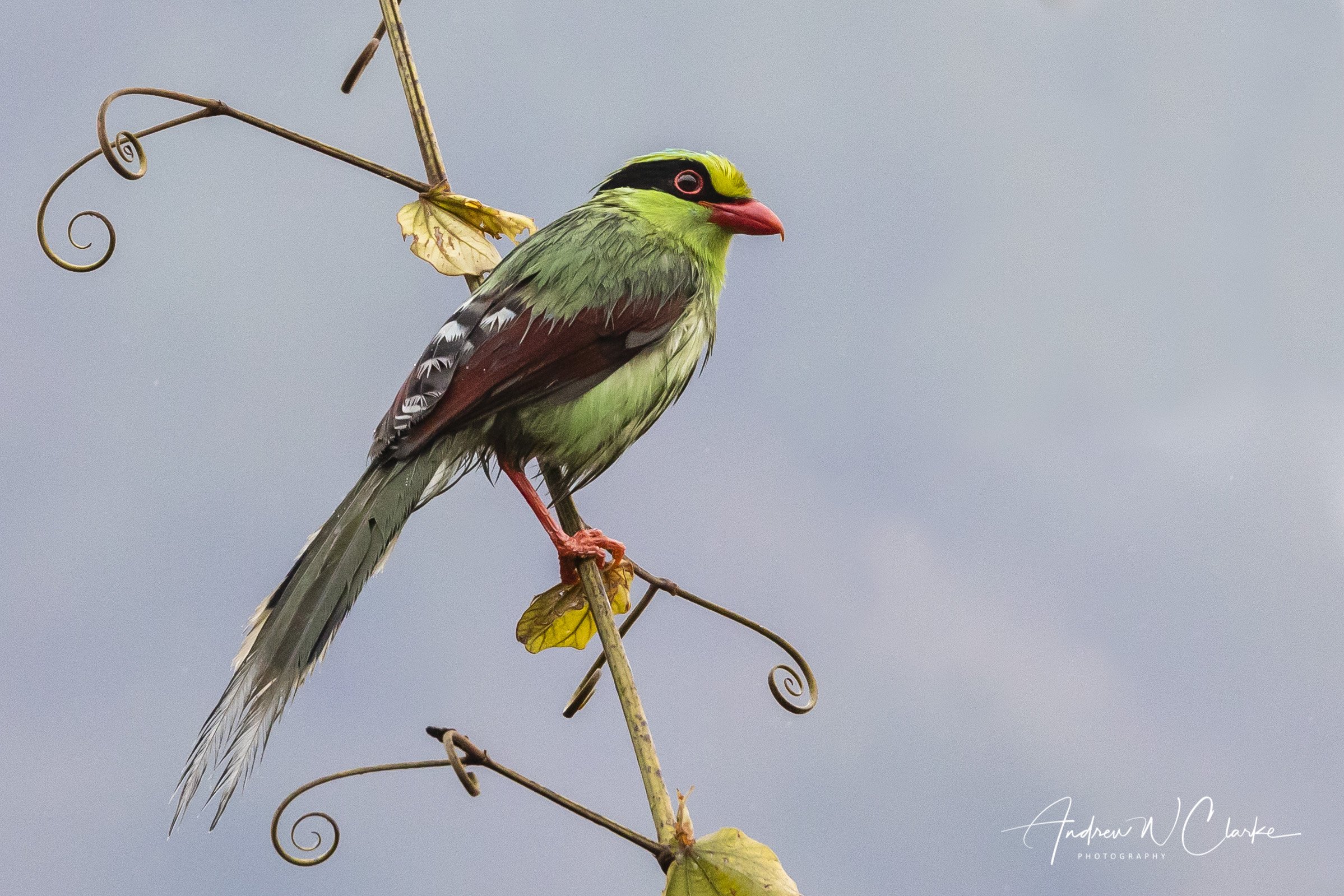 Common Green-Magpie