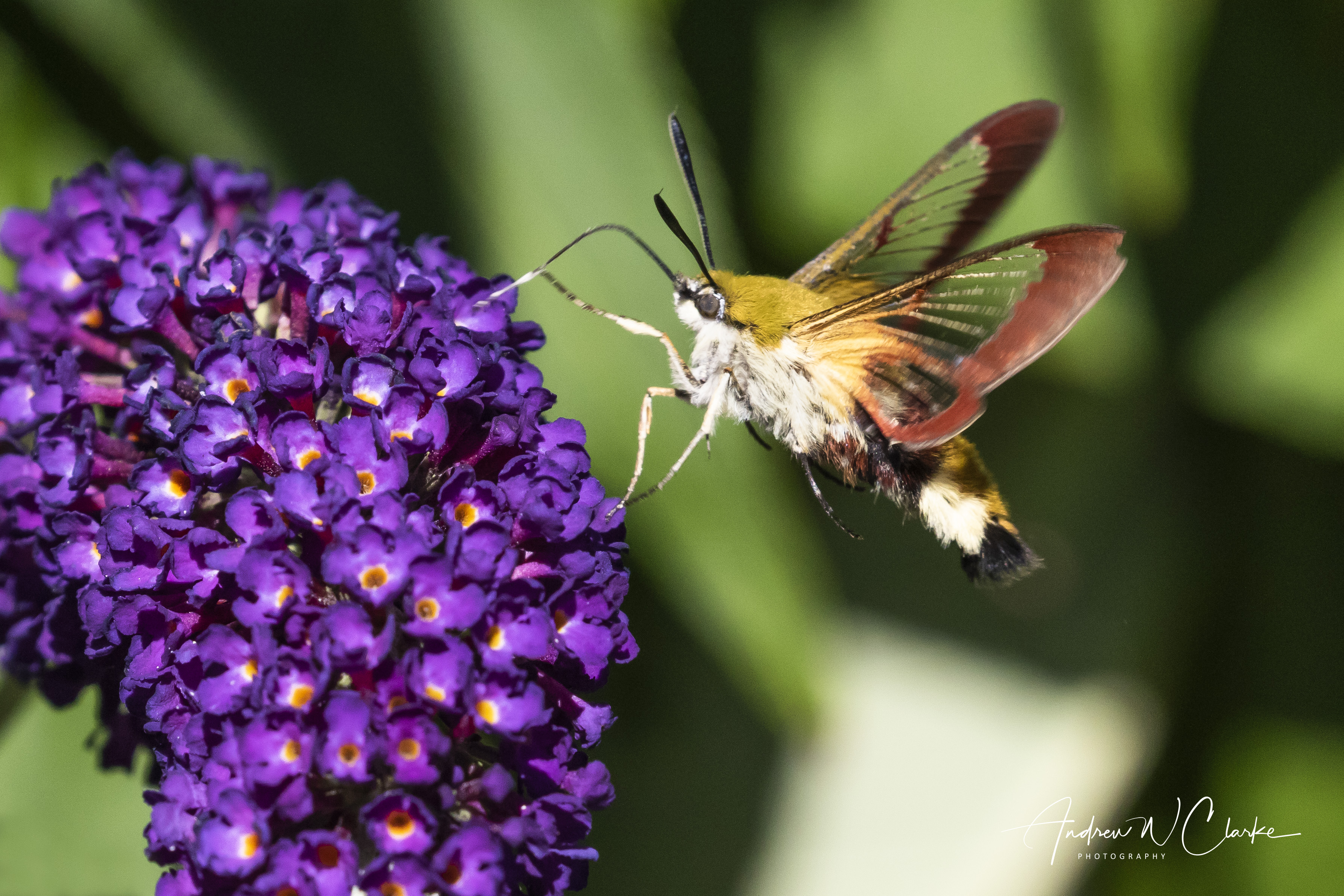 Broad-bordered Bee Hawk-moth