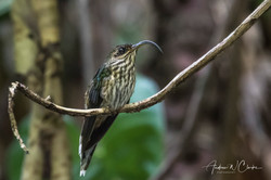 White-tipped Sicklebill