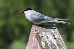 Arctic Tern / Rødnebbterne