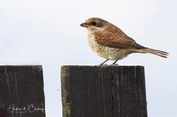 Red-backed Shrike / Tornskate