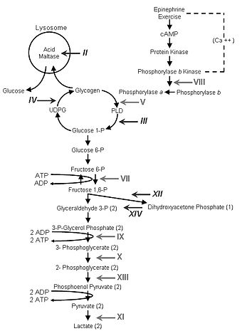 Scheme of glycogen metabolism and glycolysis.