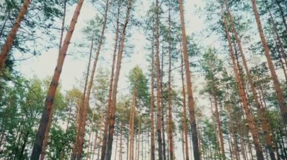 pine tree_sky.png