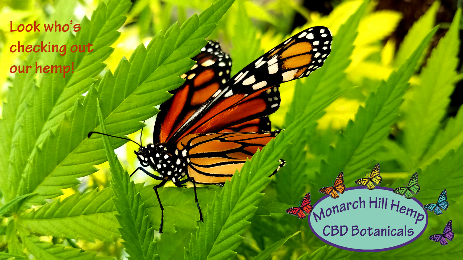 Monarch-in-GH-for-posting