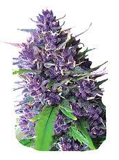 Ab-to-Purple-Kush.jpg