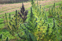 nice-green-bush-w-purple - Copy