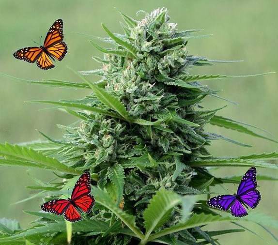 CW-Bud-Monarchs-crop-2.jpg